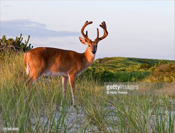 Fire island deer with antlers