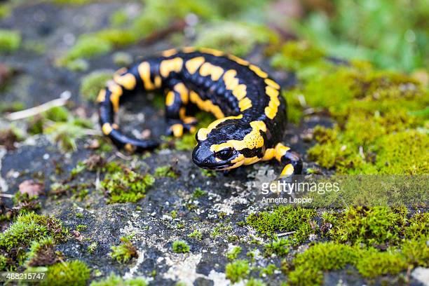 Fire salamander on a rock