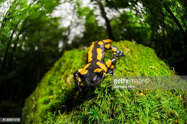 Fire Salamander on the move