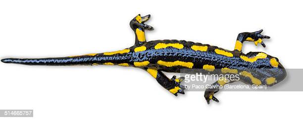 Fire Salamander on white background