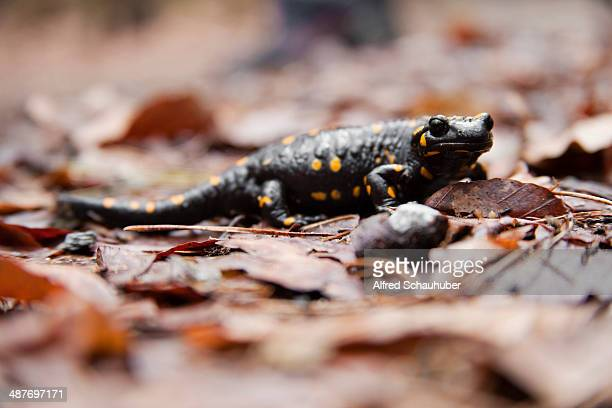 Fire Salamander -Salamandra salamandra-, Styria, Austria