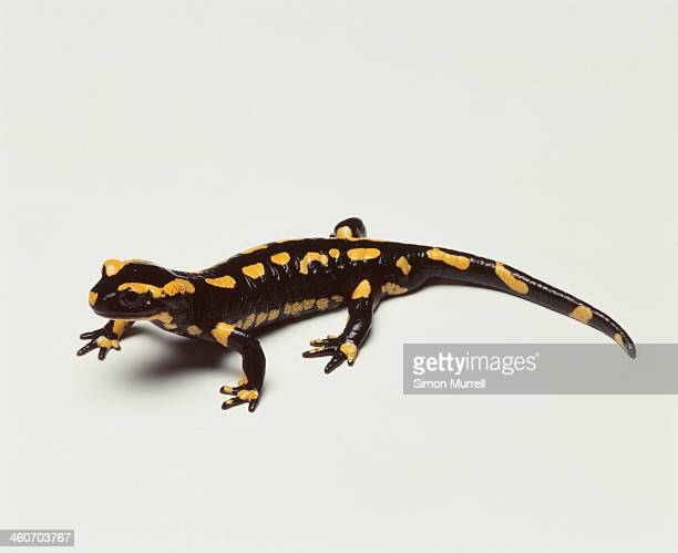 Fire Salamander, studio shot