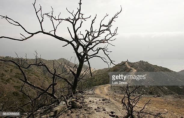 Fire13 The burned remains of a tree stands along a charred ridgeline in the interior of Santa Catalina Island Officials say that the wildfire that...