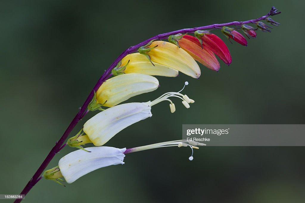 Firecracker Vine (Ipomoea lobata) : Stock Photo