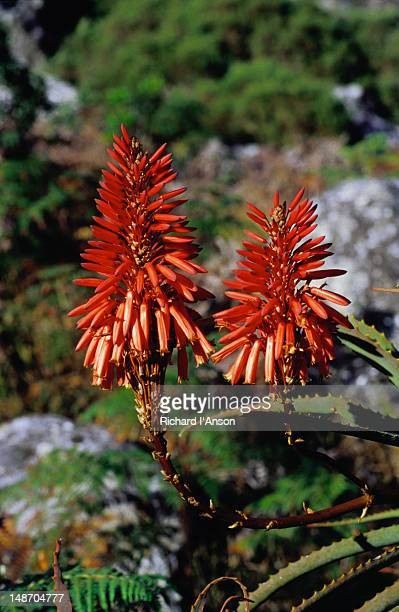 Firecracker wildflowers in the Blyde River Canyon Nature Reserve