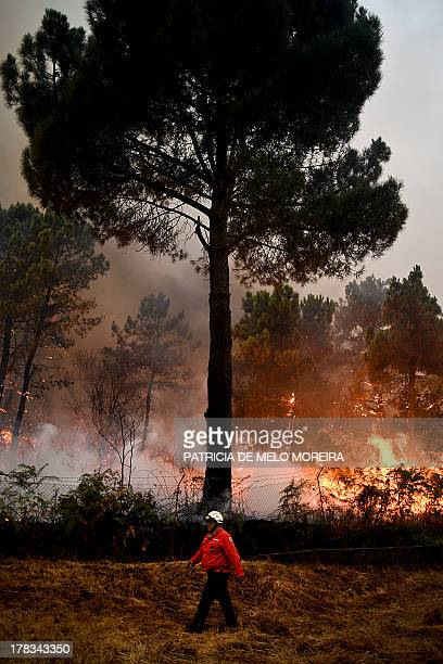 A firefighter walks past a tree during a wildfire in Caramulo central Portugal on August 29 2013 Five Portuguese mountain villages were evacuated...