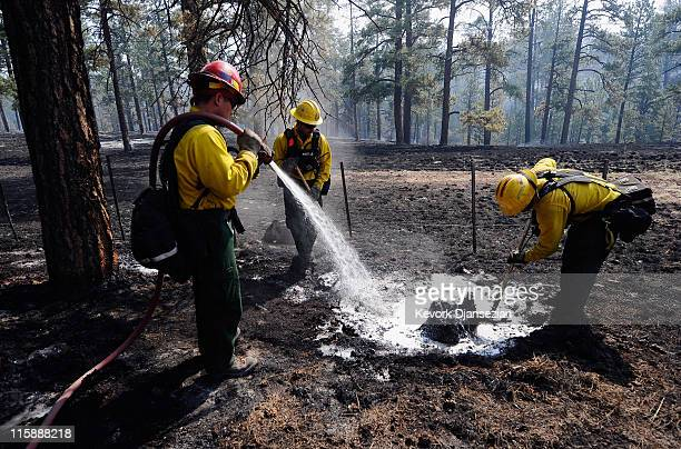 Firefighters Cpt Jimmy Neisen Wes Odom and Tarcy Wright from Surprise Arizona work to put out a hot spot in a tree trunk on June 11 2011 in Greer...
