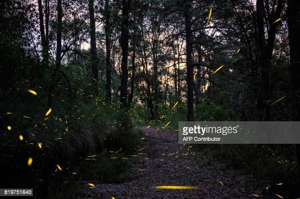 Fireflies are seen at the Santuario de las Luciernagas conserved and protected by the National Forestry Commission near Nanacamilpa Tlaxcala on July...