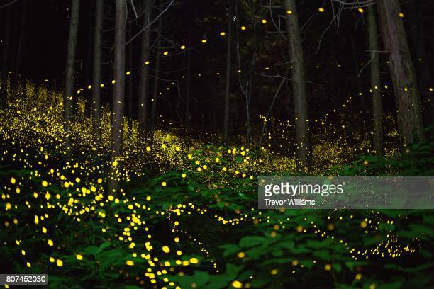 Fireflies fill the forest with a natural light show.