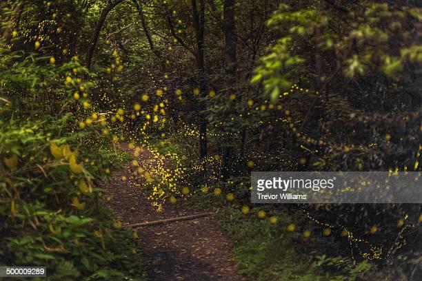 Fireflies float through the forest
