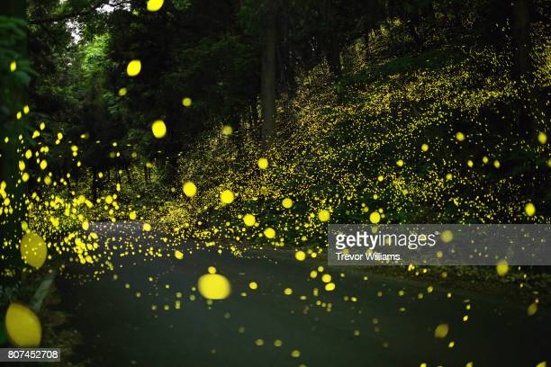 fireflies fly around the forest and spill out into the road - glowworm stock pictures, royalty-free photos & images