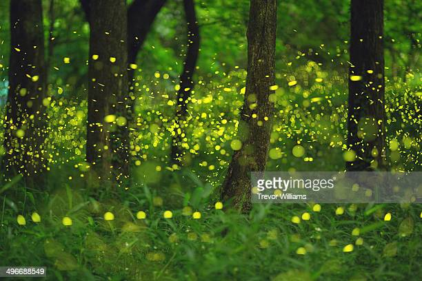 Fireflies glitter in a forest.