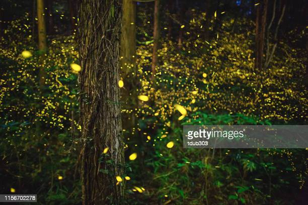 fireflies glowing in the forest at night - fairy stock photos and pictures