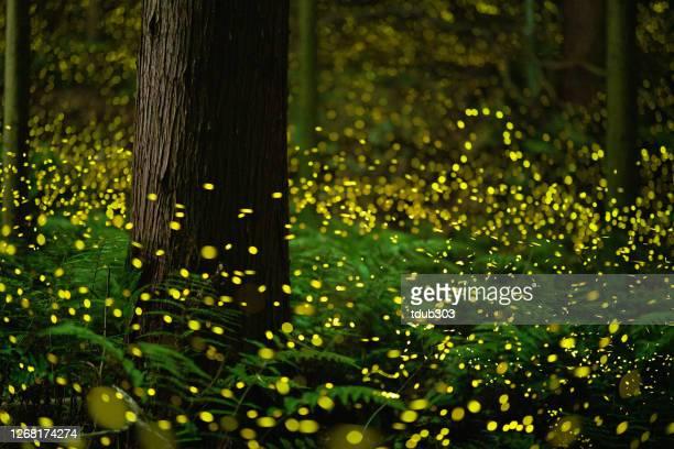 夜の森の中で輝くホタル - グローワーム ストックフォトと画像