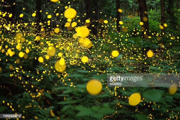 ホタル生物発光の自然の素晴らしさを表示する日本の森林に輝く - 蛍 ストックフォトと画像