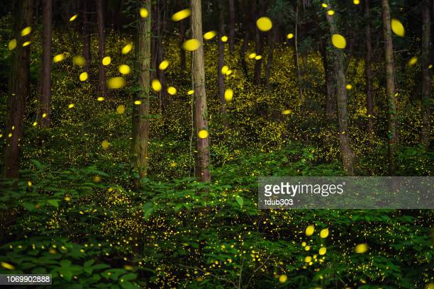 fireflies glowing in the forest of japan displaying the natural wonder of bio luminescence - bioluminescence stock pictures, royalty-free photos & images