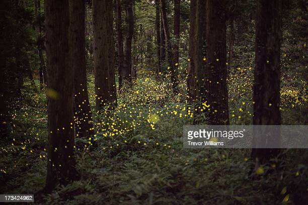 fireflies in a forest - fireflies stock pictures, royalty-free photos & images