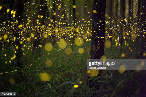 fireflies in a forest - ethereal stock pictures, royalty-free photos & images
