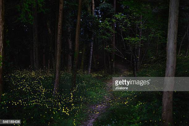 fireflies in a moonlit forest - fireflies stock pictures, royalty-free photos & images
