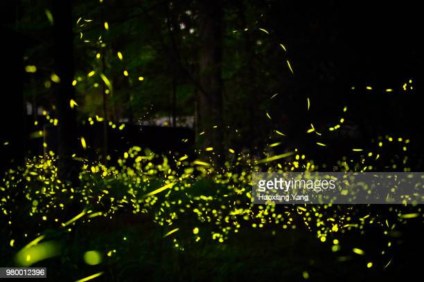 Fireflies in forest at night, Elkmont, Tennessee, USA