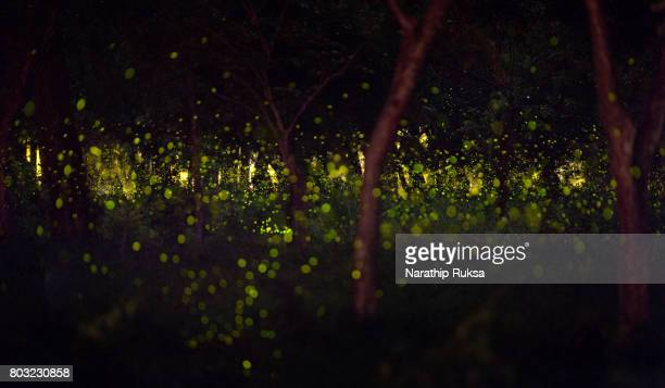 Fireflies in the summer at forest near Bangkok city, Thailand