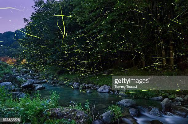 fireflies on the clear stream - 蛍 ストックフォトと画像