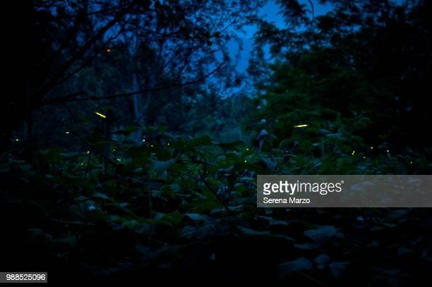 fireflies - 蛍 ストックフォトと画像