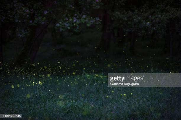 fireflies sheding lights in a forest, lombardy, italy - fireflies stock pictures, royalty-free photos & images