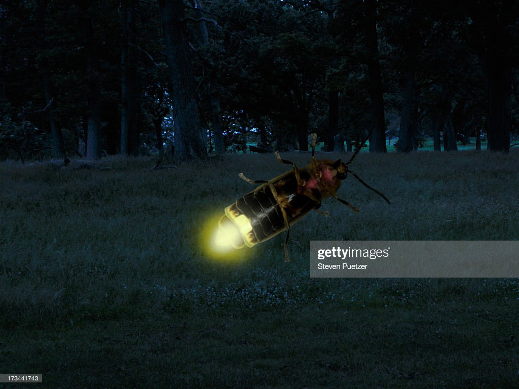 Firefly close-up : Stock Photo