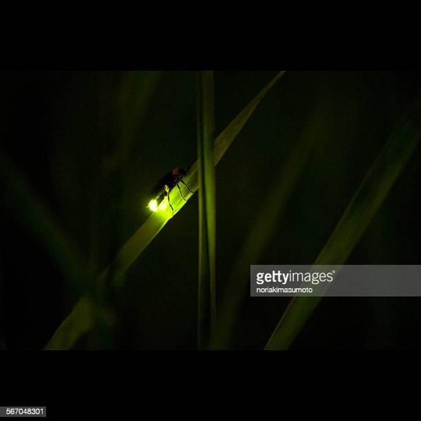 Firefly enlighted