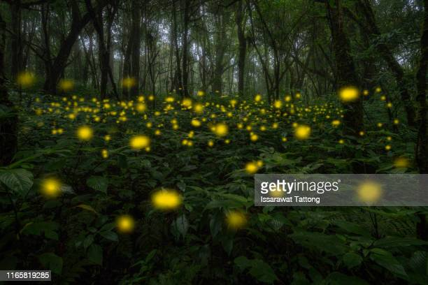 firefly flying in the forest. fireflies in the bush at night in thailand. long exposure photo. - glowworm stock pictures, royalty-free photos & images