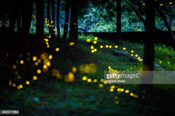 firefly light in summer night - グローワーム ストックフォトと画像