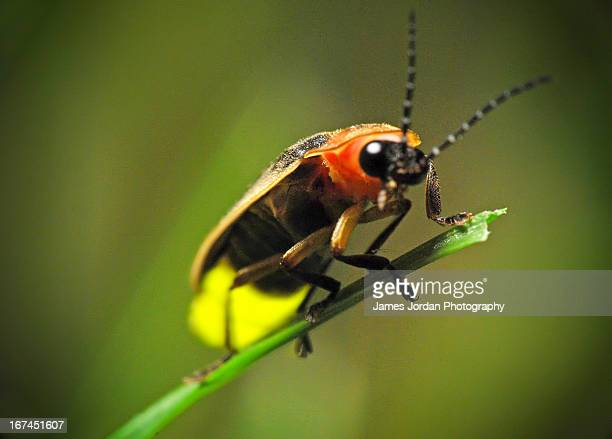 firefly on blade of grass - firefly stock pictures, royalty-free photos & images