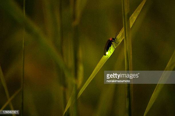 firefly on grass - fireflies stock pictures, royalty-free photos & images