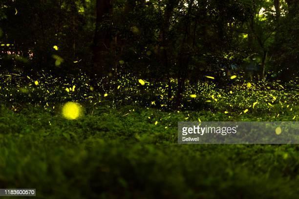 firefly - 蛍 ストックフォトと画像