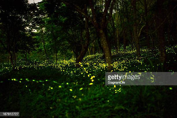 firefly - fireflies stock pictures, royalty-free photos & images