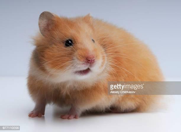 firefox :-) - hamster imagens e fotografias de stock