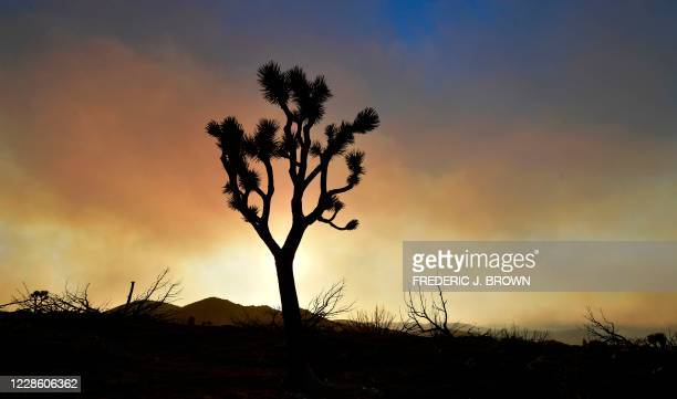 Fire-ravaged Joshua Tree is silhouetted against a smoky sky from the Bobcat Fire on September 19, 2020 in Juniper Hills, California. - The Bobcat...
