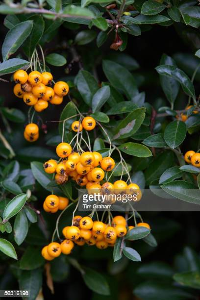 Firethorn Pyracantha Saphyr Orange Oxfordshire United Kingdom