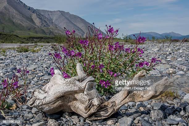 fireweed and driftwood in the arctic national wildlife refuge, summer, alaska  - 国立野生生物保護区 ストックフォトと画像