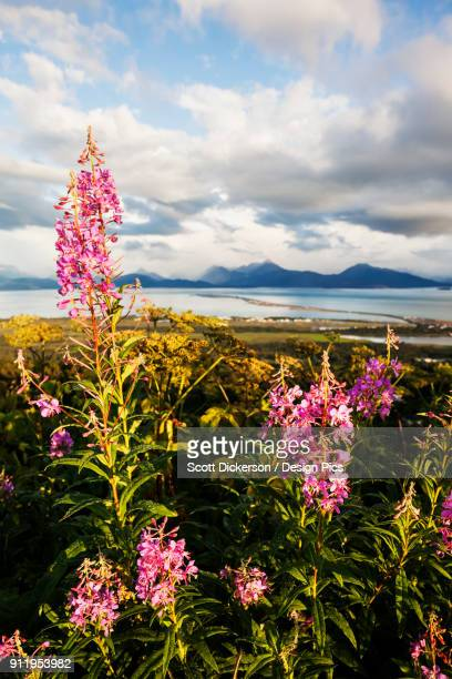 fireweed (chamaenerion angustifolium) blossoming in the foreground with homer spit, kachemak bay and the kenai mountains in the background - kachemak bay stock pictures, royalty-free photos & images