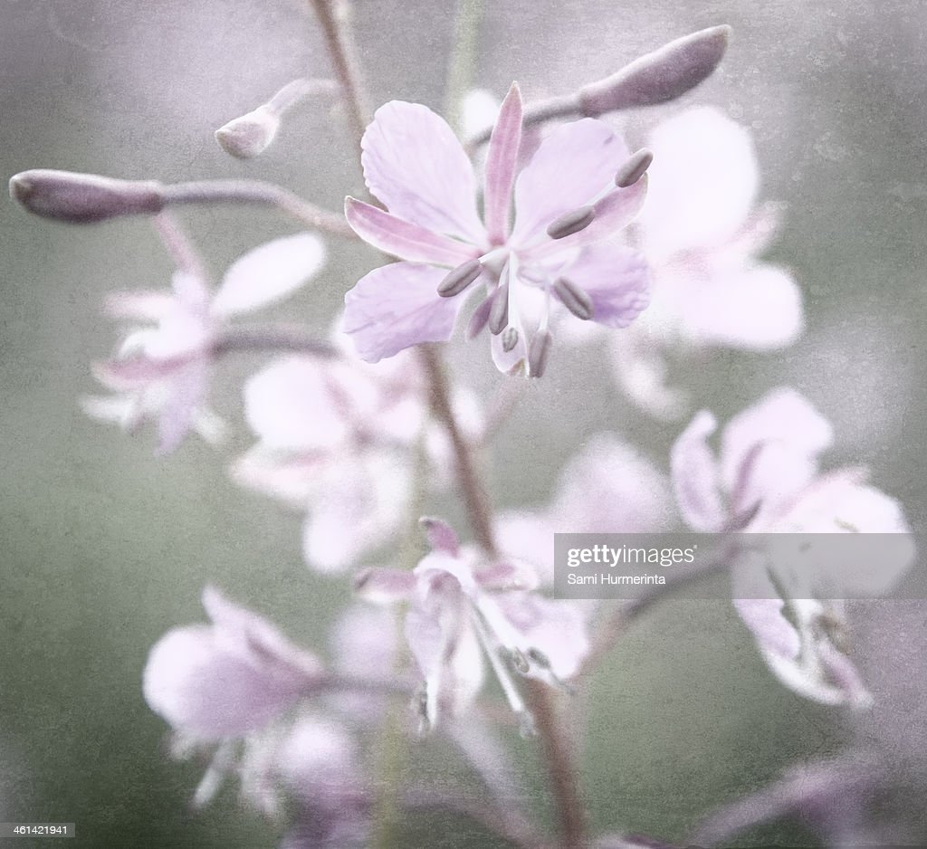 A Fireweed flower on a meadow : Stock Photo