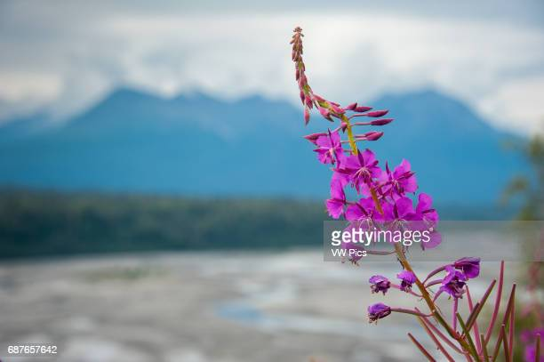 Fireweed growing off of Parks Highway, Alaska, near the Susitna River.