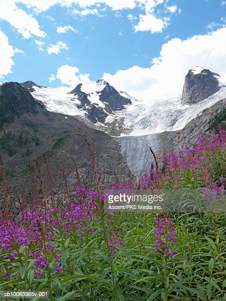 fireweed (erechtites hieracifolia) in full blossom with glaciers and snowcapped mountains in background - {{relatedsearchurl('london eye')}} stock photos and pictures