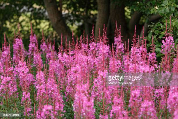 fireweed or rosebay willowherb (epilobium angustifolium), rhoen, lower franconia, bavaria, germany - {{asset.href}} stock pictures, royalty-free photos & images