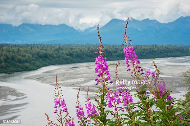fireweed (epilobium angustifolium) with the alaskan susitna river in the background. - mt. susitna stock pictures, royalty-free photos & images