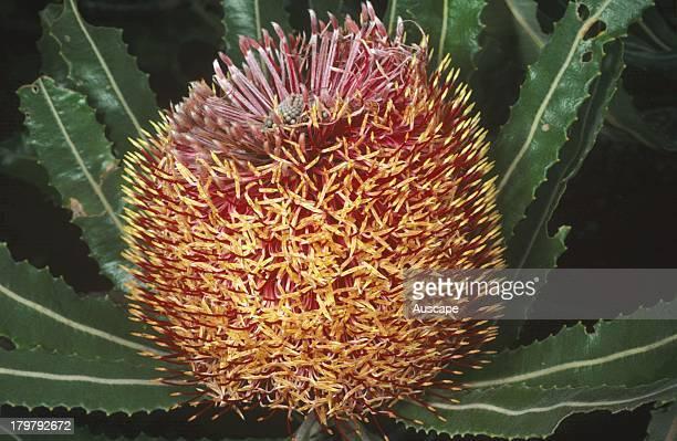 Firewood banksia Banksia menziesii flower Perth Western Australia