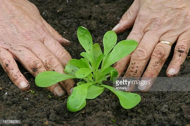 Straffende eine Junge Pflanze auf der Erde Garten
