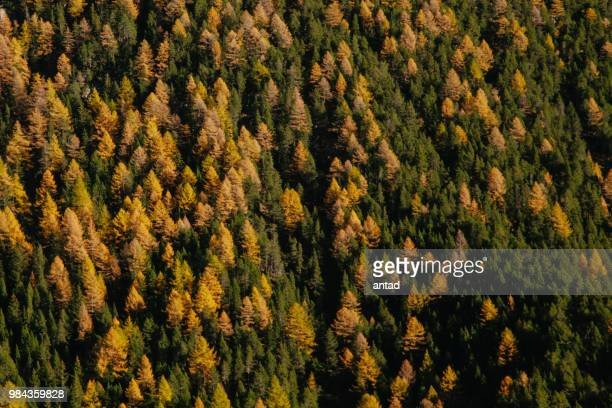 firs and larchs in autumn - larch tree stock pictures, royalty-free photos & images