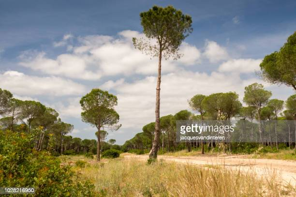 firs in the donana national park, spain - donana national park stock photos and pictures